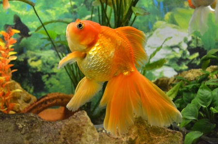aquarium goldfish carp photo