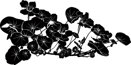 nasturtium: nasturtium flowers isolated on white background Illustration