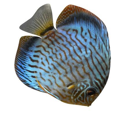 pez disco: Discus peces de acuario de agua salada aislado en fondo blanco Foto de archivo