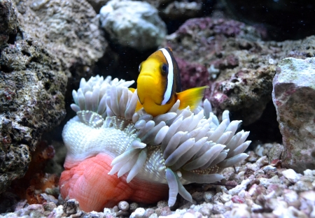 nemo fish and sea anemone Stock Photo - 21987283