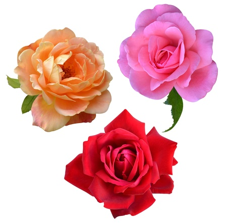 rose flowers isolated on white background photo
