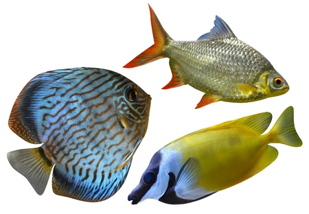 marine aquarium fish isolated on white background photo