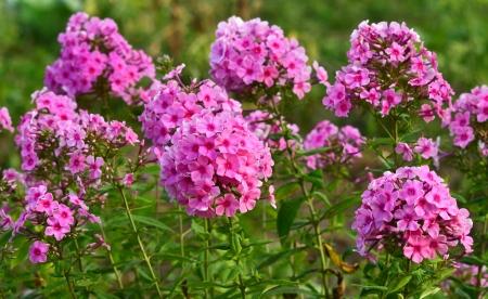 solemnize: phlox flowers glade