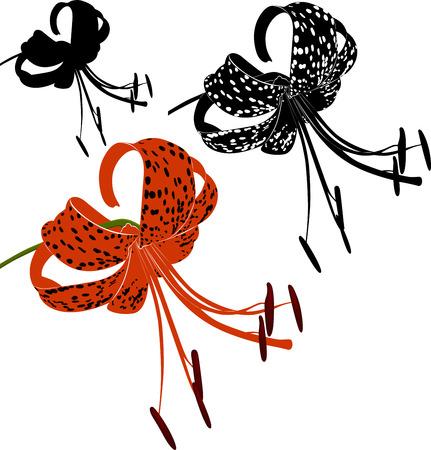 tiger lily Vector