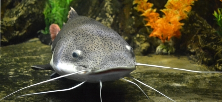 catfish fish nature Stock Photo - 24677438