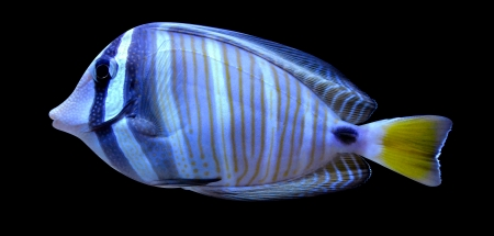 angelfish fish on a black background photo