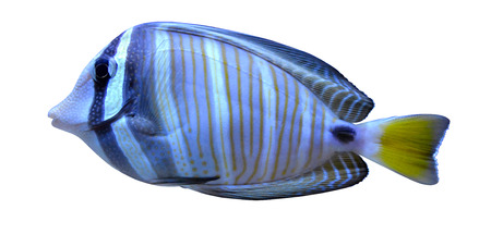 angelfish fish Stock Photo - 25869653
