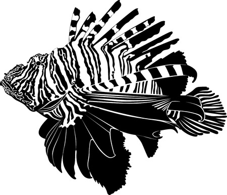 zebra lionfish: marine aquarium fish Zebra Lionfish