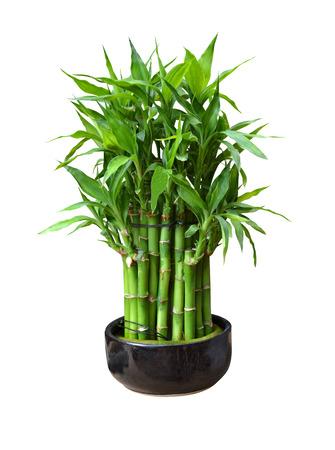 bamboo in a pot Archivio Fotografico