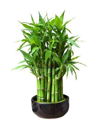 bamboo in a pot photo