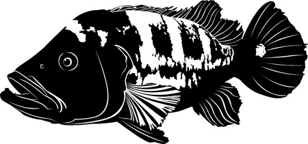 ocellaris: aquarium fish Cichla ocellaris