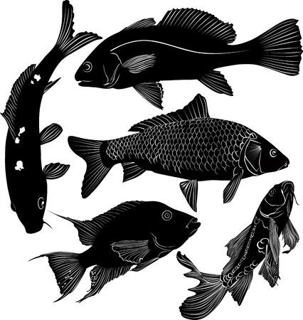 sockeye: collection of fish