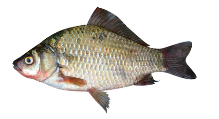 insipid: crucian carp fish isolated on a white background
