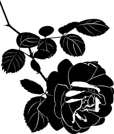rosa negra: rosas