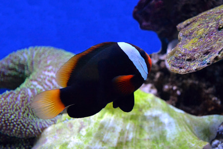 nemo fish and sea anemone photo