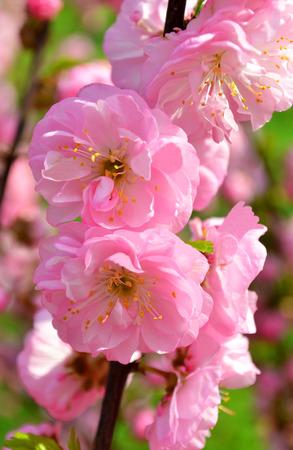 almond bud: sakura natural floral
