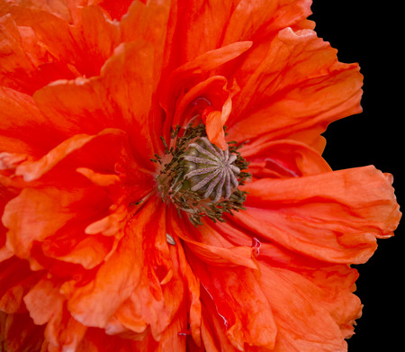 poppy plant flora  isolated flower Stock Photo
