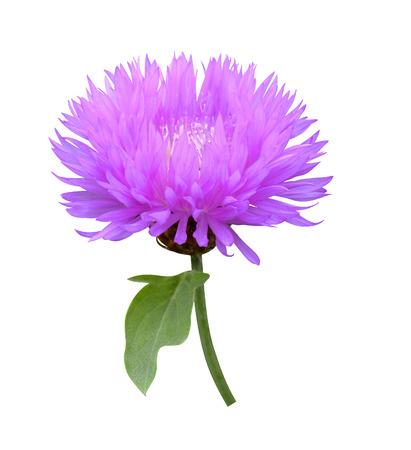 medical  plant: Planta medicinal cardo mariano Cirsium aislado Foto de archivo