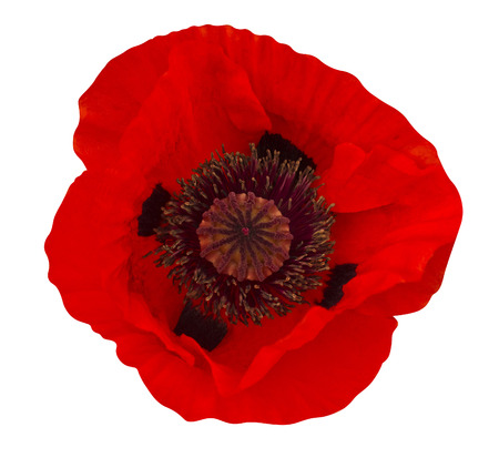 the natural world: poppy