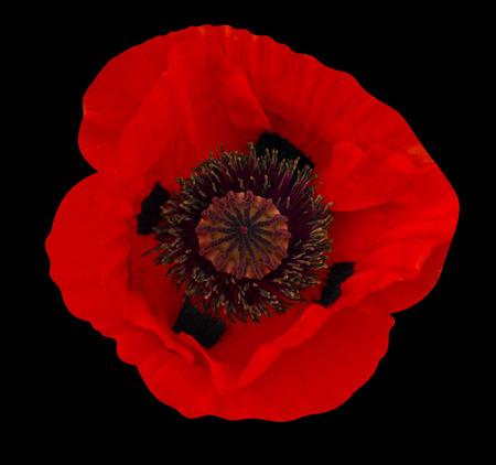 amapola: flor de la amapola
