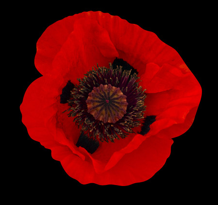 poppy flower photo
