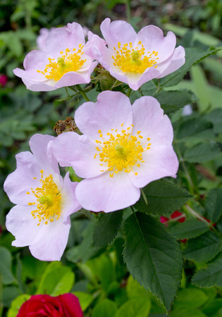 Briar Rose flower photo