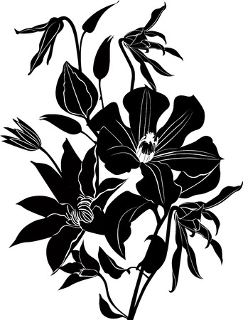 flori culture: clematis flowers Illustration
