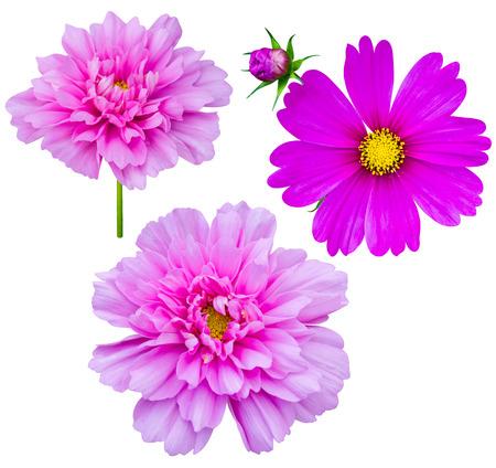 purple flowers: purple flowers cosmos