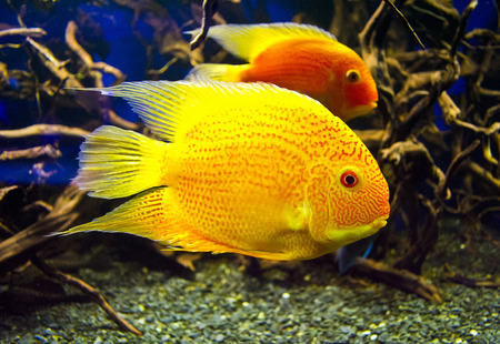 blood parrot: Cichlasoma fish