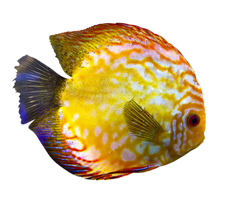 discus: discus isolated in white