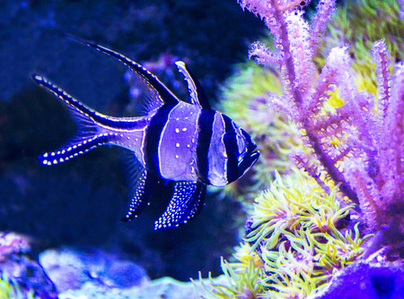Pterapogon kauderni photo