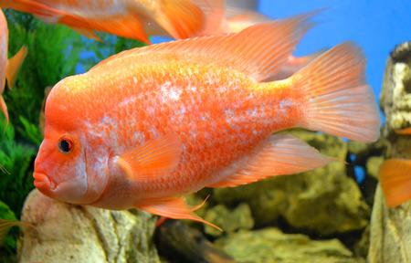 cichlasoma: fish Cichlasoma Stock Photo
