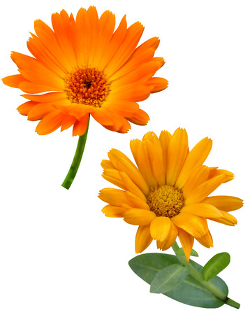 Calendula flowers isolated on white photo
