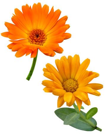 carotenoid: Flores de cal�ndula aislado en blanco