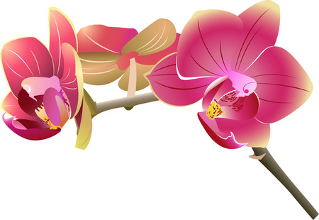Orchids flowers Vector