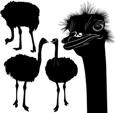 ostriches Imagens - 33277276