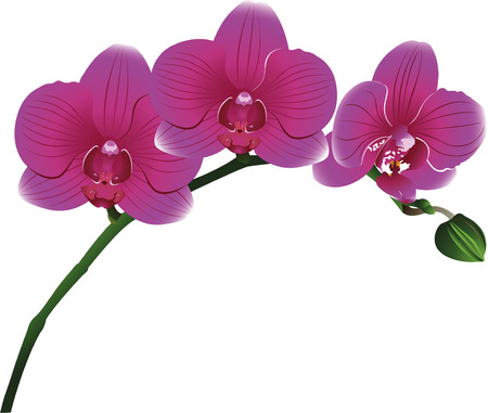 Orchids flowers Illustration
