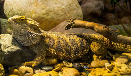 lacertidae: lizard Stock Photo