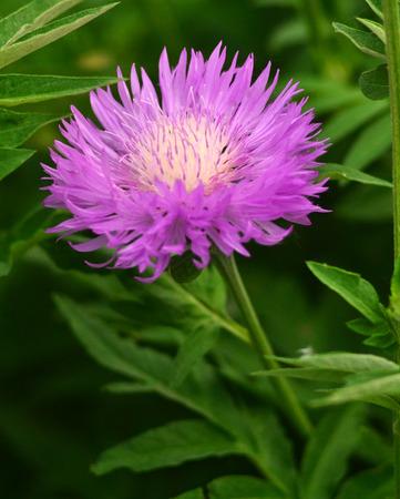 flower head: Milk thistle thistle