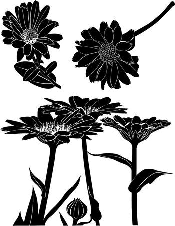 calendula: Calendula flowers Illustration