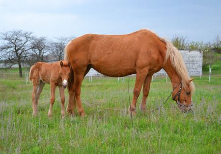 horse with foal photo