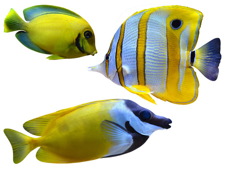 chelmon: marine aquarium fish Stock Photo