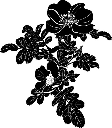 eglantine: dog rose Illustration