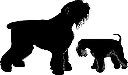 head shot: miniature schnauzer and black Terrier
