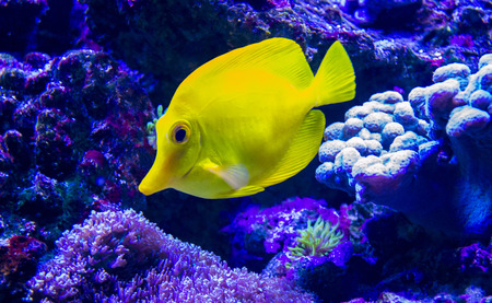 chaetodon: butterfly fish Stock Photo