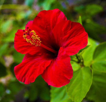 Hibiscus Stock Photo - 39369325