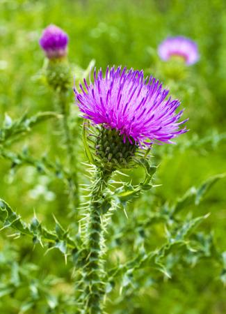 flores moradas: flor de cardo
