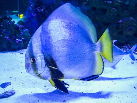 unicorn fish: aquarium sea fish
