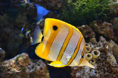 butterflyfish: Sea butterflyfish Stock Photo