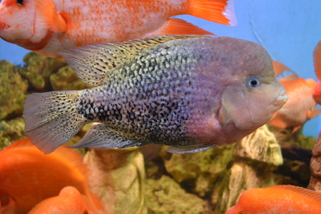 aulonocara: cichlid Stock Photo